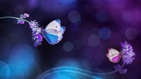 在淡紫色花的美丽的白色蓝色蝴蝶  在蓝色和紫色口气的夏天春天自然图象 免版税图库摄影