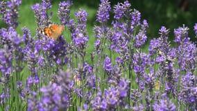 在淡紫色花的蝴蝶飞行
