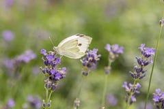 在淡紫色花背景的蝴蝶  明亮的夏天背景 蝶粉花淡紫色白色 关闭 免版税库存图片