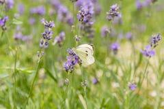 在淡紫色花背景的蝴蝶  明亮的夏天背景 蝶粉花淡紫色白色 免版税库存图片