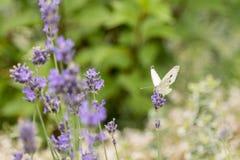 在淡紫色花背景的蝴蝶  明亮的夏天背景 蝶粉花淡紫色白色 图库摄影