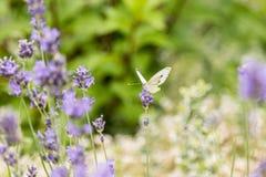 在淡紫色花背景的蝴蝶  明亮的夏天背景 蝶粉花淡紫色白色 库存图片