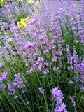 在淡紫色花附近的一次蜂飞行 免版税图库摄影
