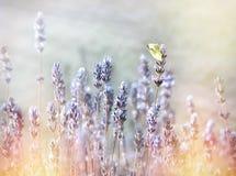 在淡紫色花,在白色蝴蝶的选择聚焦的白色蝴蝶 库存图片