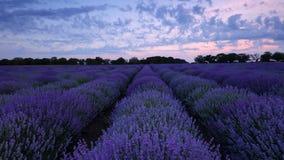在淡紫色领域和不尽的开花的行,夏天风景的日落 影视素材