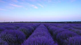 在淡紫色领域和不尽的开花的行,夏天风景的日落 股票视频