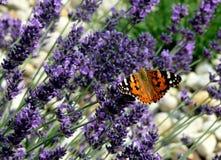 在淡紫色领域的休息的蝴蝶 图库摄影