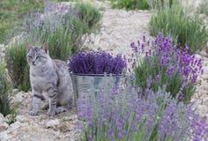在淡紫色领域的野生猫 免版税库存图片