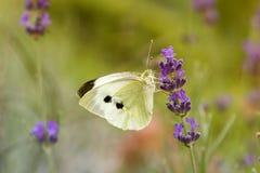 在淡紫色lavendula的白色蝴蝶 免版税库存照片
