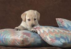 在淡色几何枕头的黄色拉布拉多小狗 免版税库存图片