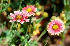 在淡色红色的雏菊 库存图片