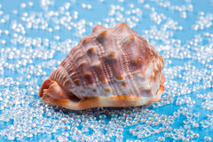 在淡水的大带红色壳喜欢蓝色背景 免版税库存照片