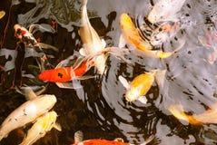 在淡水的花梢鲤鱼 库存照片