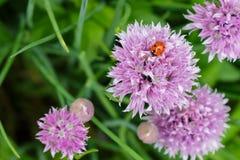 在淡紫色开花的一只俏丽的瓢虫 库存图片
