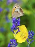 在淡紫色开花的蝴蝶 免版税图库摄影