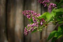 在淡紫色树的淡紫色花在木背景 库存图片