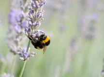 在淡紫色植物的蜂 免版税库存图片