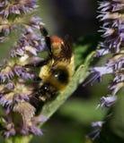 在淡紫色海索草的蜂 免版税库存图片