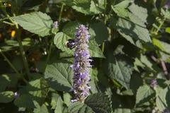 在淡紫色海索草的蜜蜂 免版税库存图片