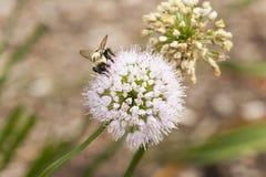 在淡紫色海索草的蜜蜂 图库摄影