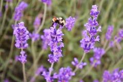 在淡紫色的大土蜂 免版税库存图片