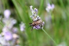 在淡紫色的昆虫 库存图片