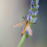 在淡紫色的玉米蝇 免版税库存图片