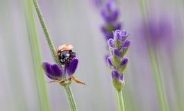 在淡紫色的瓢虫 免版税库存图片