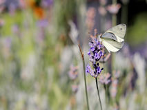 在淡紫色的纹白蝶 免版税库存照片