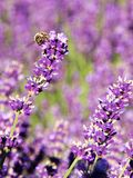 在淡紫色的蜂 免版税库存图片