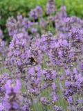 在淡紫色的蜂 图库摄影