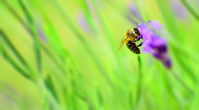 在淡紫色的蜂 免版税库存照片