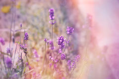 在淡紫色的软的焦点在花园里开花 免版税库存照片