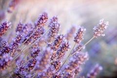在淡紫色的软的焦点在花园,太阳光芒点燃的淡紫色花里开花 免版税库存照片