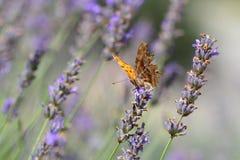 在淡紫色的领域的逗号蝴蝶 图库摄影