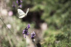 在淡紫色的蝴蝶 免版税库存照片