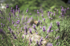 在淡紫色的蝴蝶 库存照片