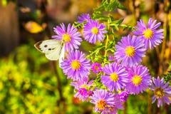 在淡紫色秋天翠菊的白色蝴蝶 库存照片