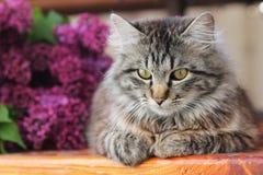 在淡紫色背景的灰色猫 免版税库存图片