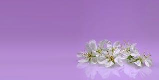 在淡紫色背景的精美开花 免版税图库摄影