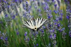 在淡紫色花的利器蝴蝶 库存图片