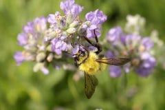 在淡紫色花的土蜂 免版税库存图片