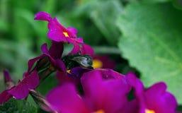在淡紫色花的土蜂 库存照片