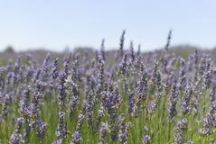 在淡紫色花的瓢虫 库存照片