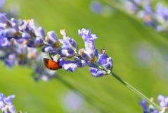 在淡紫色花的瓢虫 免版税库存图片