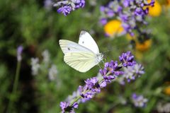 在淡紫色花的纹白蝶 免版税图库摄影