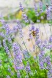 在淡紫色花的蜂 免版税图库摄影