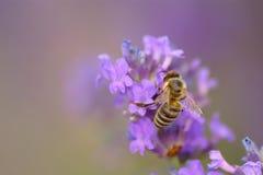 在淡紫色花的蜜蜂 库存照片