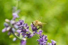 在淡紫色花的蜜蜂 免版税库存照片