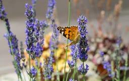 在淡紫色花的蝴蝶 免版税库存图片